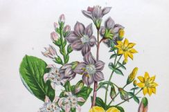 12th March 2020. Anne Pratt Botanical Prints